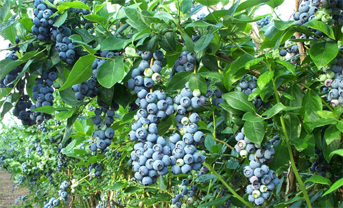 Pick your own blueberries when in season<br>Blueberry bushes on the grounds of the Farm