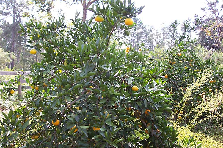 Visit the orchard for fresh satsumas, pears, mayhaw berries and more Satsumas are among the fruits available